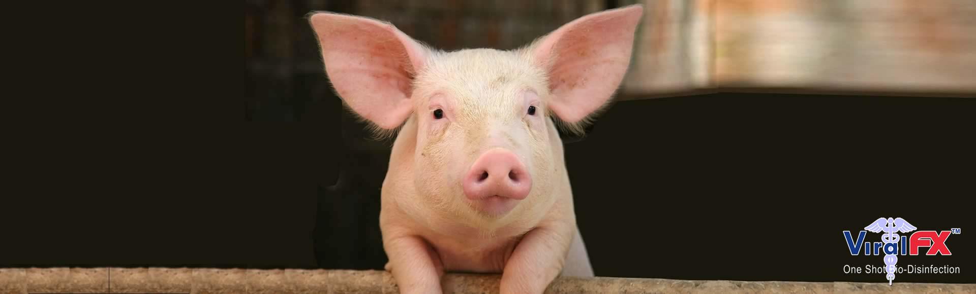 swine-care-3